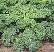Can a dog eat kale