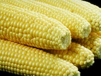 Is corn toxic to dogs