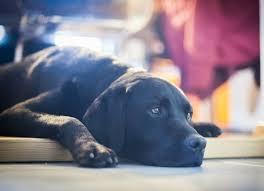 can my dog catch my flu virus