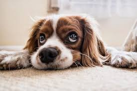 Signs and symptoms of a dog with sore muscles