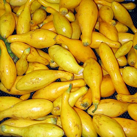 Is yellow squash safe for dogs