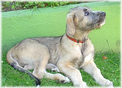 Does Irish Wolfhound like grains