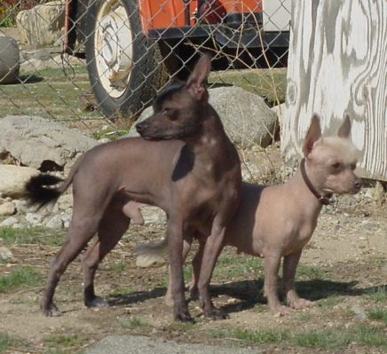 Mexican hairless dog ate chorizo