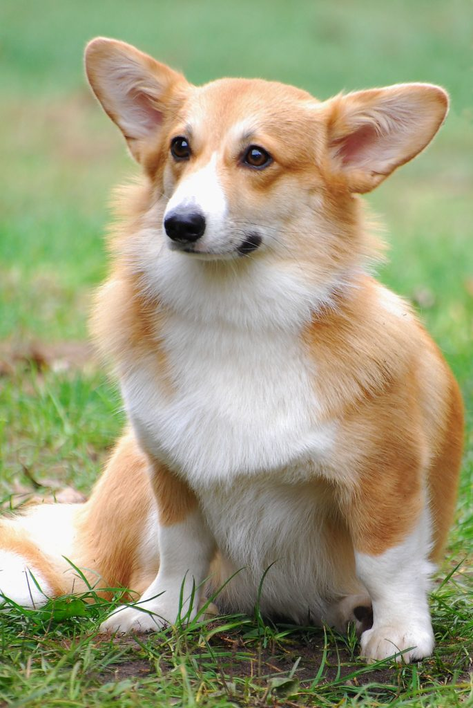 My Pembroke Welsh Corgi dog ate carrots with ranch