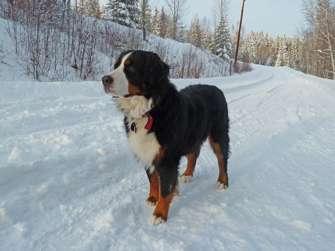 is Okra toxic for Bernese Mountain Dog?