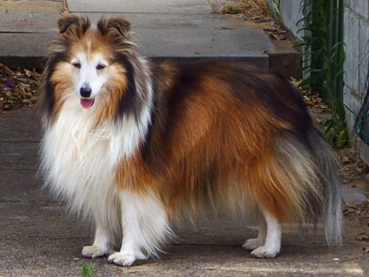 shetland sheepdog loves to eat salad with any dressing