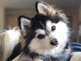 Should I neuter my Pomsky dog