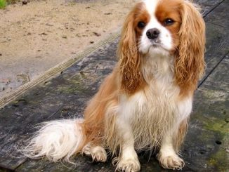 Can I give my Cavalier King Charles Spaniel Robitussin cf