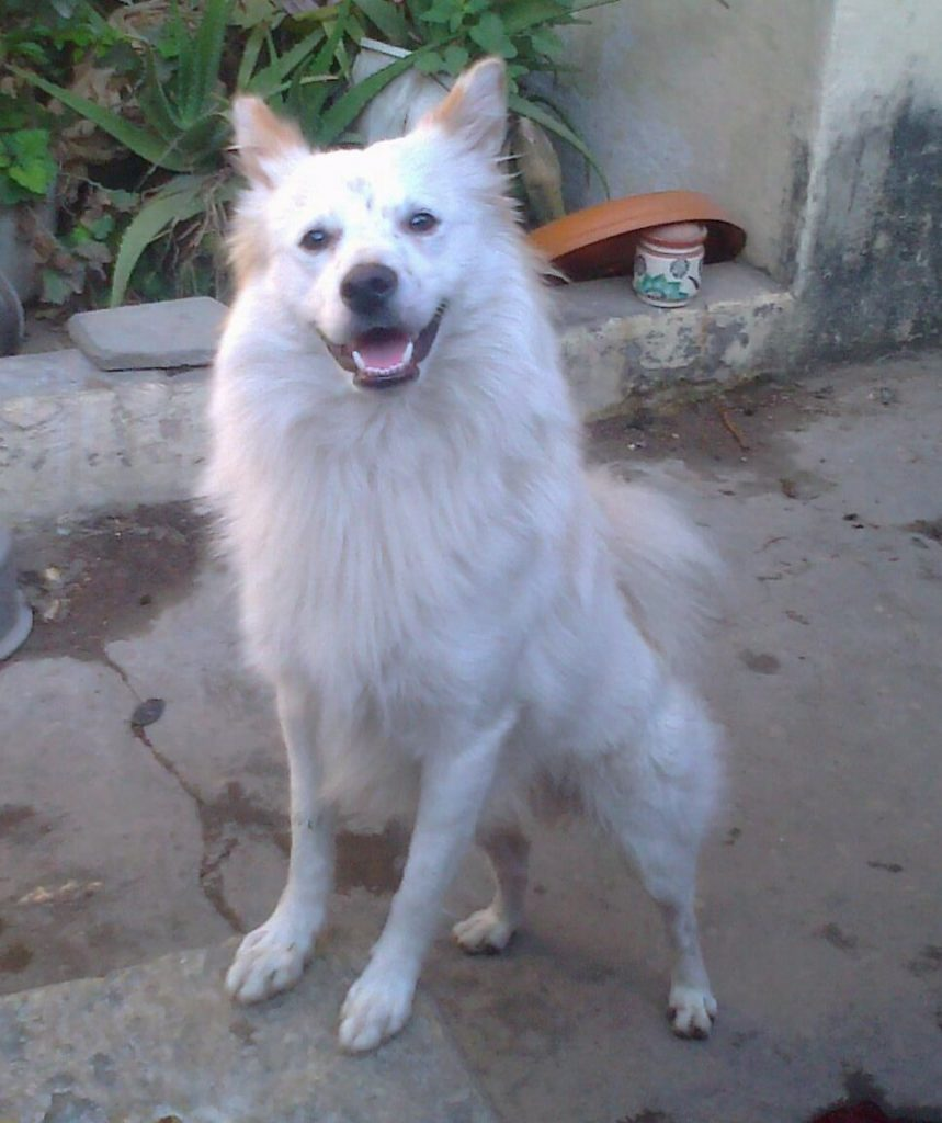 Can I give my Indian Spitz dog ghee