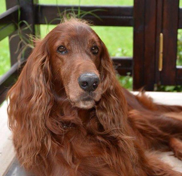 Can I serve my Irish Setter dog Quorn Mince