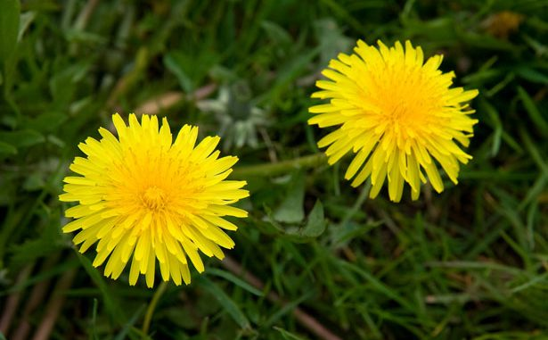Can dogs eat dandelions?