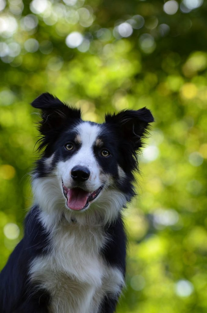 Can my Border Collie eat marshmallow